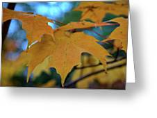 Maple Leaves In Autumn Greeting Card