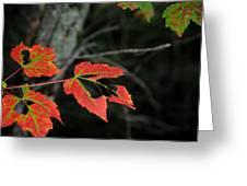 Maple Leaves Greeting Card by Steven Scott