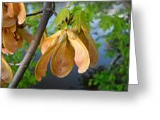 Maple Seeds In May Greeting Card