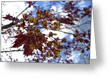 Maple Tree In Spring Greeting Card