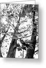 Maple Trees In Black And White Greeting Card