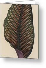 Maranta Regalis Greeting Card