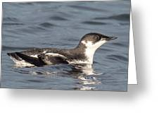 Marbled Murrelet Greeting Card