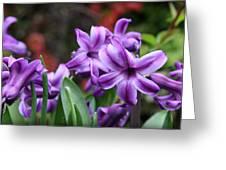 March Hyacinths Greeting Card