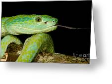 Marchs Palm Pitviper Greeting Card