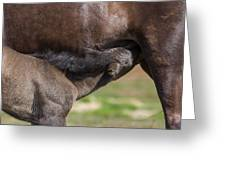Mare And Foal, Icelandicelandic Greeting Card
