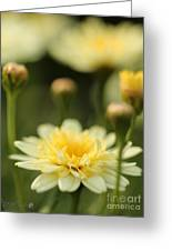 Marguerite Daisy Named Madeira Crested Primrose Greeting Card