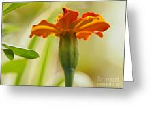 Marigold On A Lovely Spring Day Greeting Card