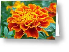Marigold Photograph Greeting Card