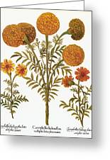 Marigolds, 1613 Greeting Card