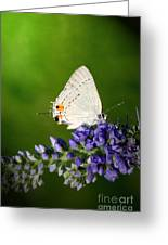 Marius Hairstreak Butterfly Greeting Card