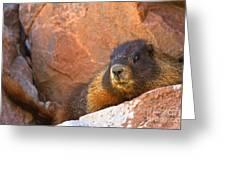 Marmot On The Rocks Greeting Card