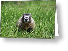 Marmot Pup Greeting Card