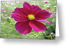Maroon And Yellow Cosmos Greeting Card