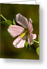 Marsh Mallow Greeting Card