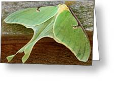 Maryland Luna Moth Greeting Card
