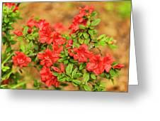 Masses Of Azaleas Greeting Card