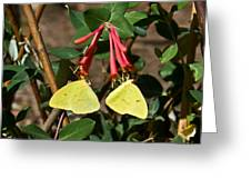 Matched Pair Of Sulfur Butterflies Greeting Card