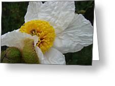 Matilija Poppy 2 Greeting Card