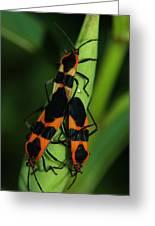 Mating Milkweed Bugs Greeting Card