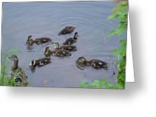 Maturing Ducklings Greeting Card