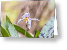 Mauve Trout Lily Greeting Card
