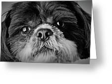 Max - A Shih Tzu Portrait Greeting Card