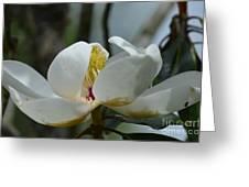 May Magnolia 2 Greeting Card