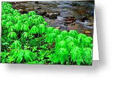 Mayapples And Middle Fork Of Williams River Greeting Card