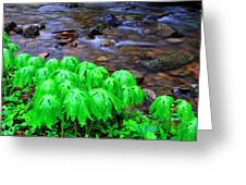Mayapples And Middle Fork  Greeting Card