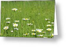 Meadow With White Wild Flowers Spring Scene Greeting Card