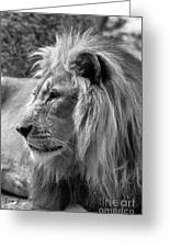 Meditative Lion In Black And White Greeting Card