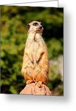 Meerkat 2 Greeting Card