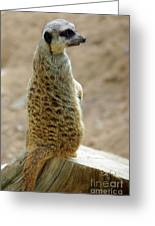 Meerkat Portrait Greeting Card