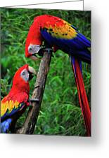 Meeting Of The Macaws  Greeting Card