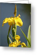 Mello Yellow - Floral Yellow Iris 3 Greeting Card