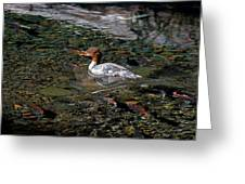 Merganser And Spawning Salmon - Odell Lake Oregon Greeting Card