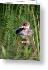 Merganser Duckling Greeting Card