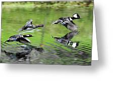 Merganser Reflections Greeting Card