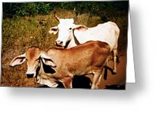 Mexican Cattle Greeting Card
