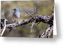 Mexican Jay Greeting Card