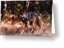 Mexican Red Wolf Greeting Card