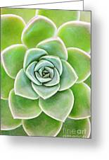 Mexican Snowball Succulent  Greeting Card
