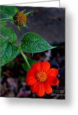 Mexican Sunflower 2 Greeting Card