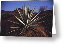 Mexico, Oaxaca, Field Of Agave Plants Greeting Card