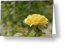 Michelangelo Hybrid Tea Rose, Yellow Rose Originally Produced B Greeting Card