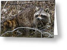Michigan Raccoon Greeting Card