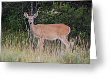Michigan Whitetail Doe Greeting Card