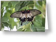 Midland Moth Greeting Card