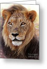 Mighty Lion In South Africa Greeting Card